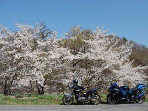 立科周辺の桜